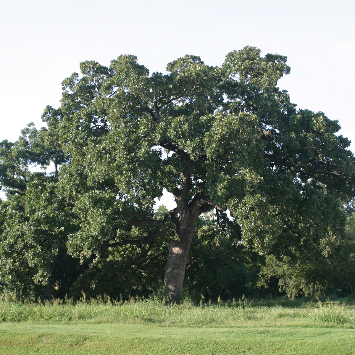 burr oak Color/appearance: has a light to medium brown color, though there can be a fair amount of variation in color conversely, red oak tends to be slightly redder, but is by no means a reliable method of determining the type of oak.