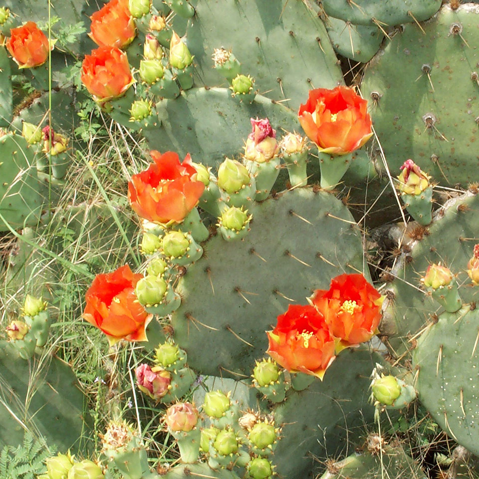 Cactus Prickly Pear Austintexas Gov The Official