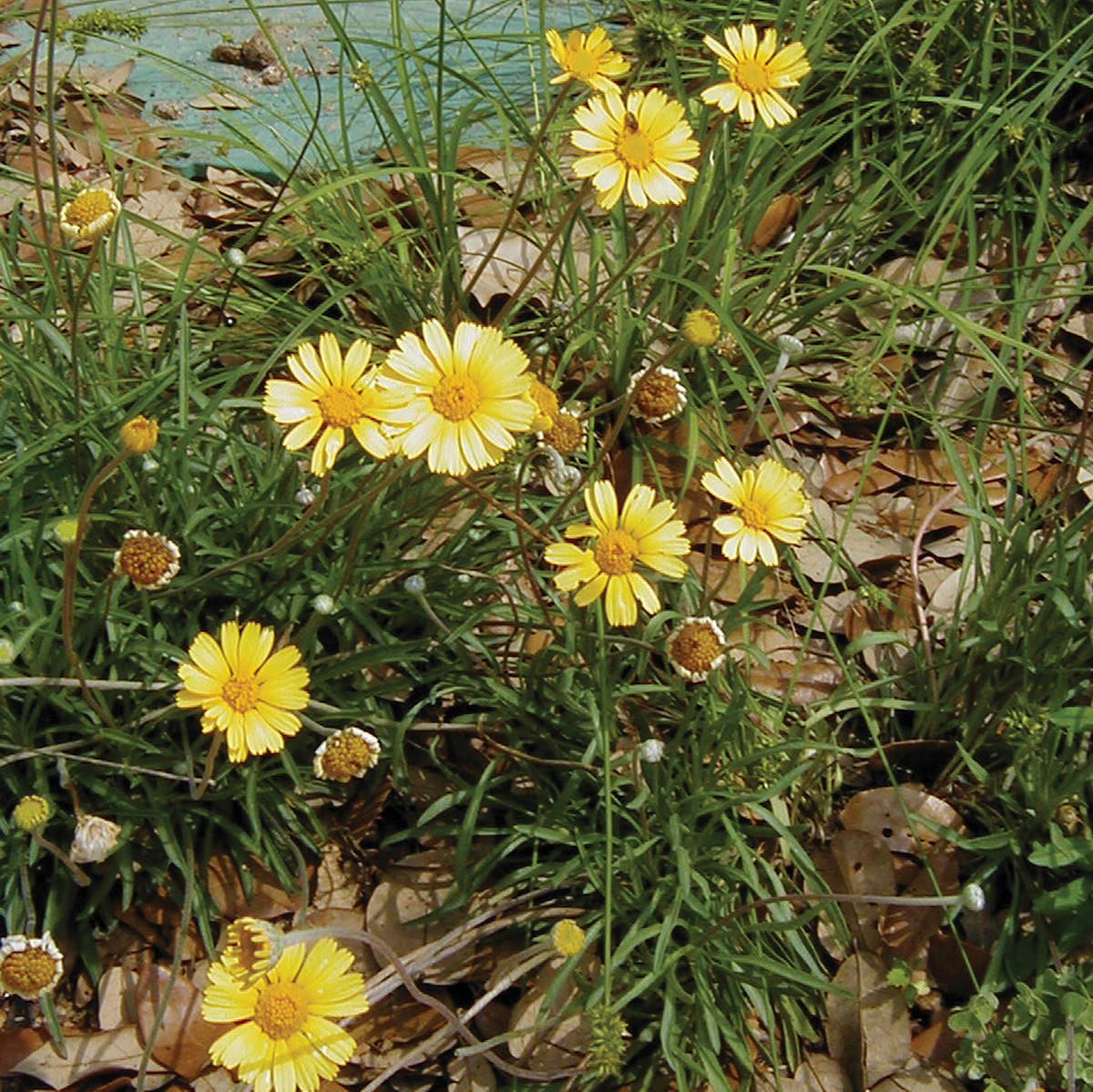 hymenoxys  four nerve daisy