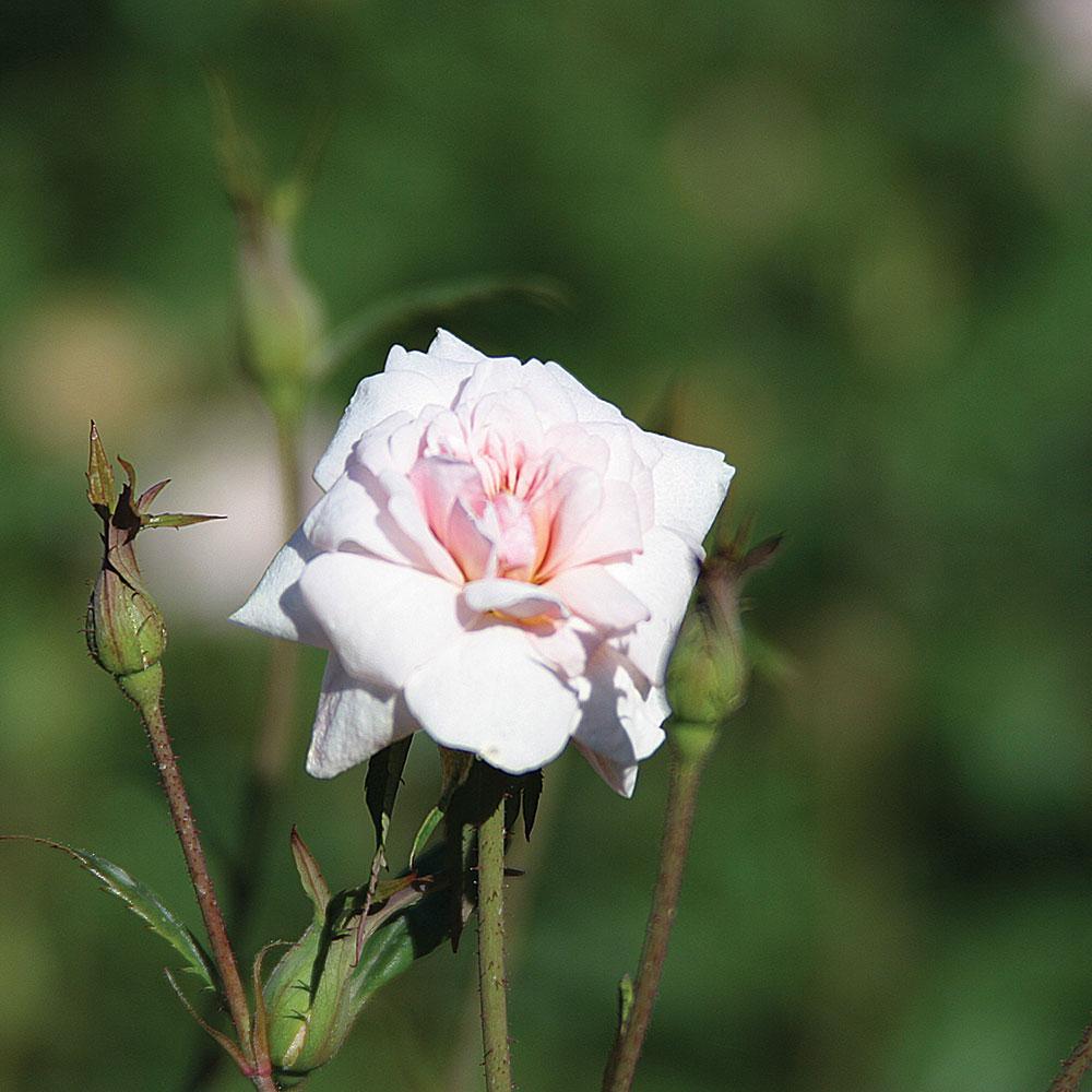 Cecile Brunner Rose History Rose 39 Cecile Brunner 39 Rosa