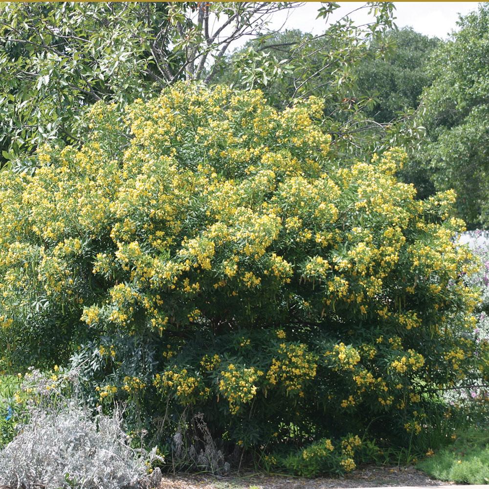 senna  flowering