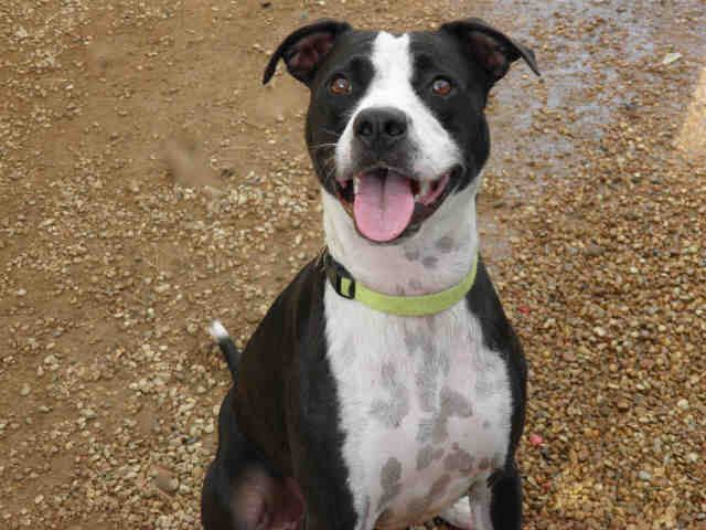Australian Cattle Dog Pit Bull Boxer Mix Old pointer pit bull mix