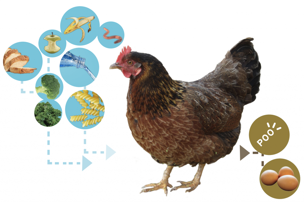 Input (food scraps and water) and output (droppings) of chickens