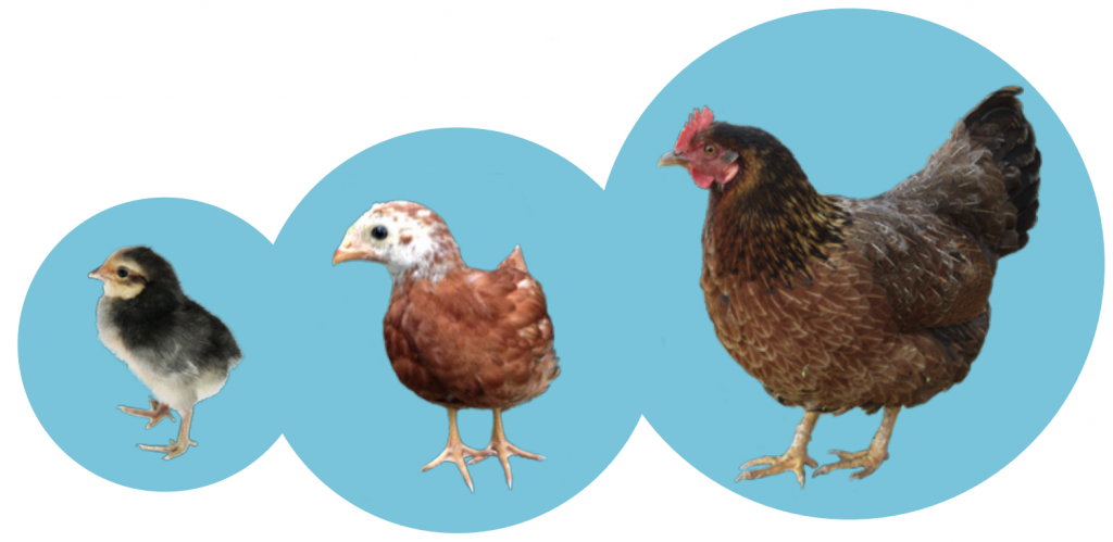 Chicken, pullet and hen