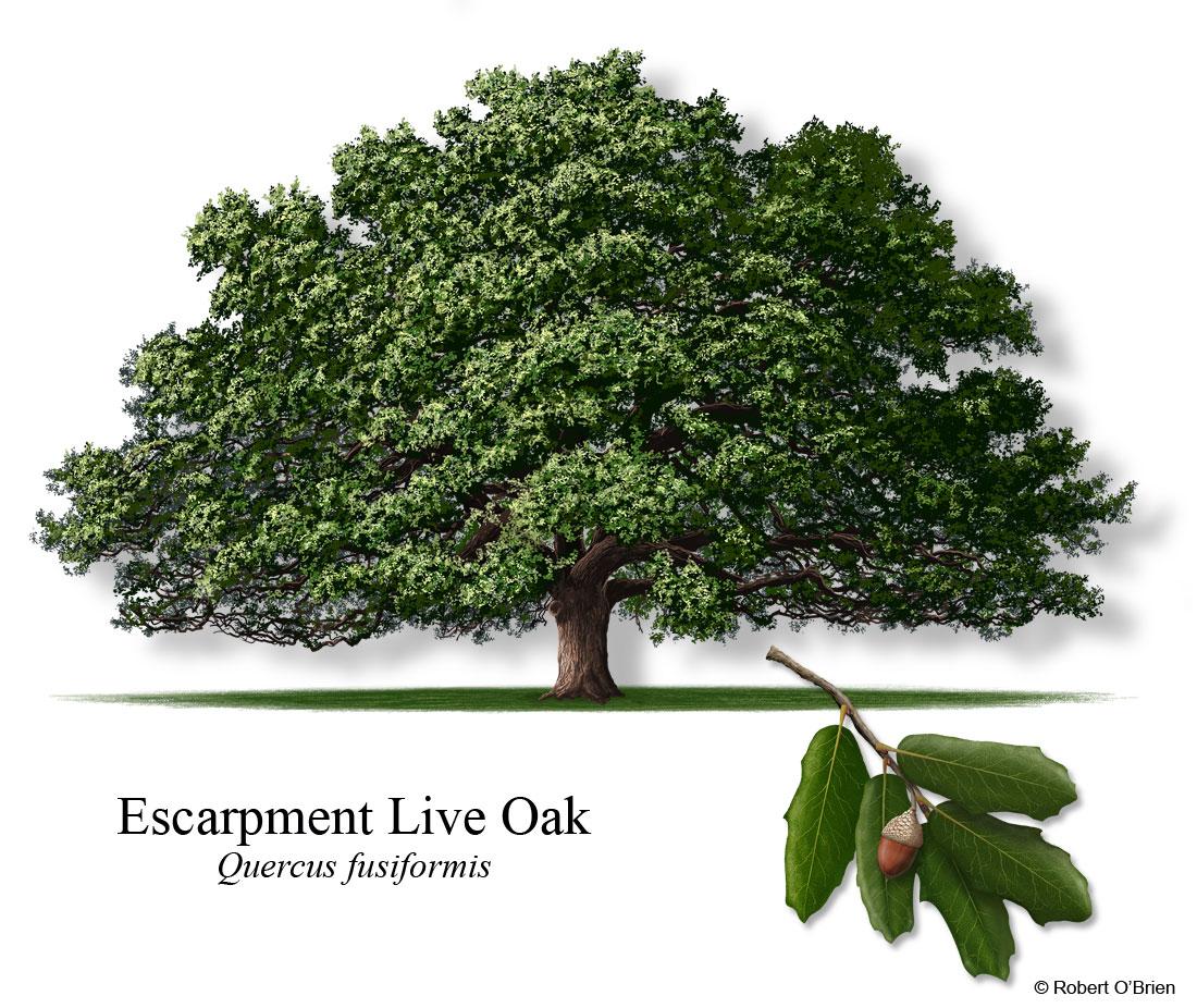 oak wilt 101 austintexas gov the official website of the city of