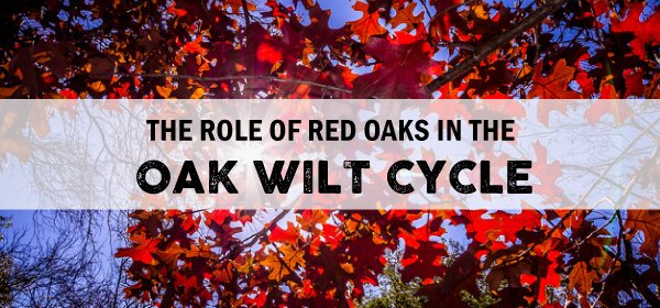 Blog banner for The Role of Oak Wilt image is of red red oak leaves