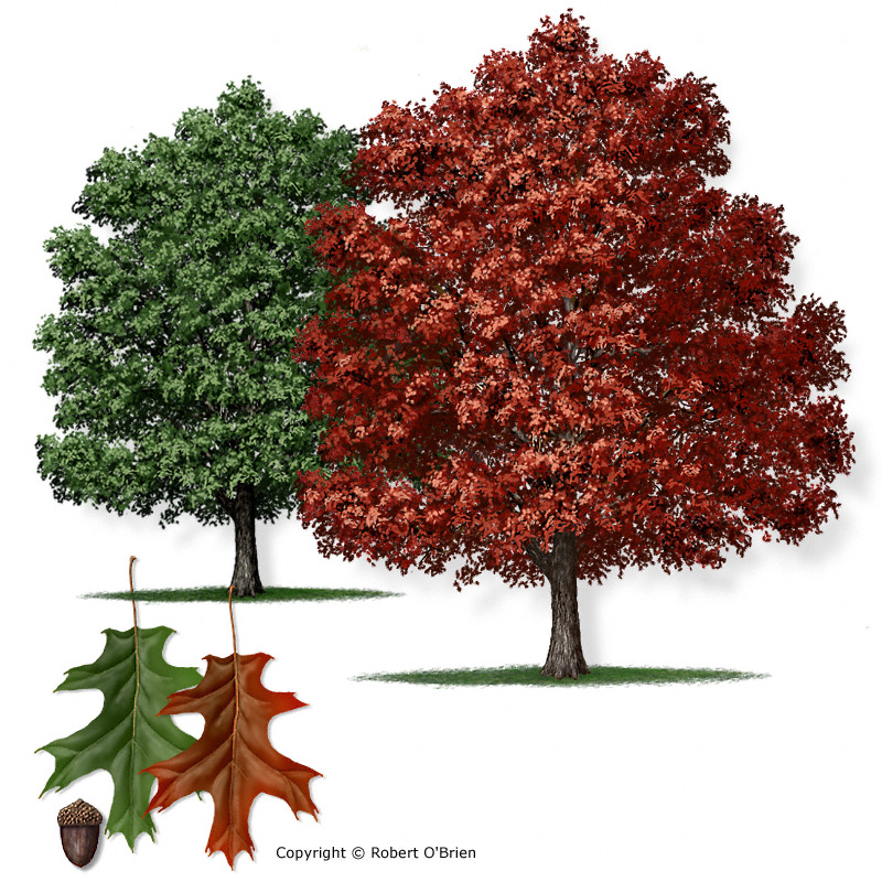 The Role of Red Oaks in the Oak Wilt Cycle | AustinTexas.gov