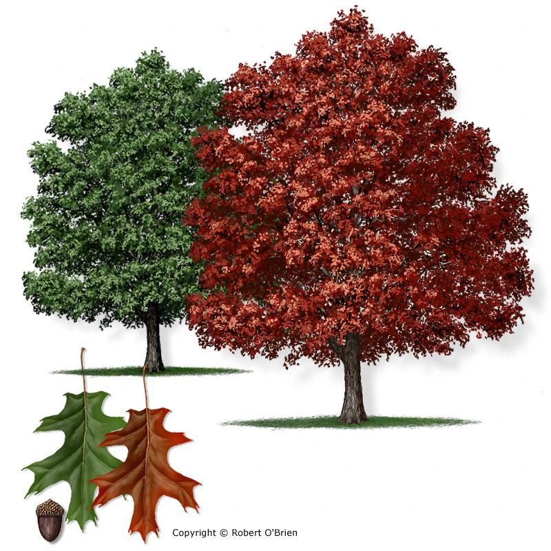 Red Oak Tree ~ The role of red oaks in oak wilt cycle austintexas