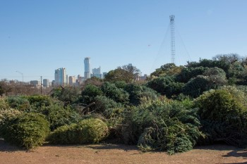 Pile of Christmas trees to be recycled, behind is the Austin skyline