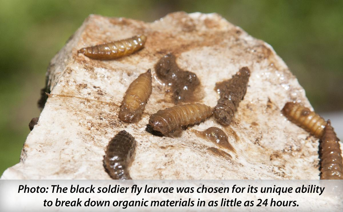Image: The black soldier fly was chosen for its unique ability to break down organic materials in as little as 24 hours.