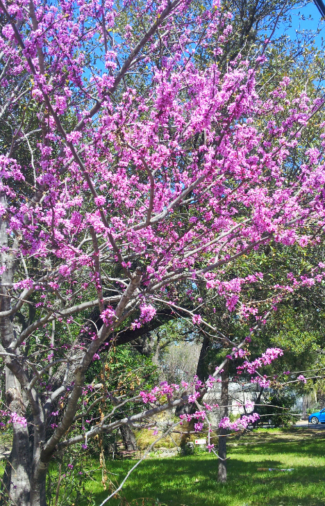 image of a magenta redbud tree
