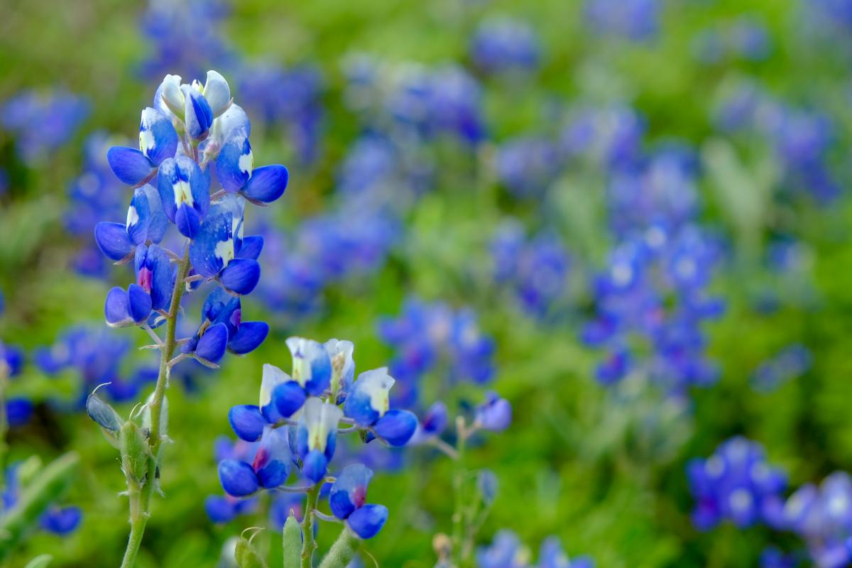 Close-up of Texas bluebonnets.