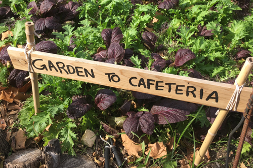 "Field of lettuce with a sign that reads ""Garden to cafeteria"""
