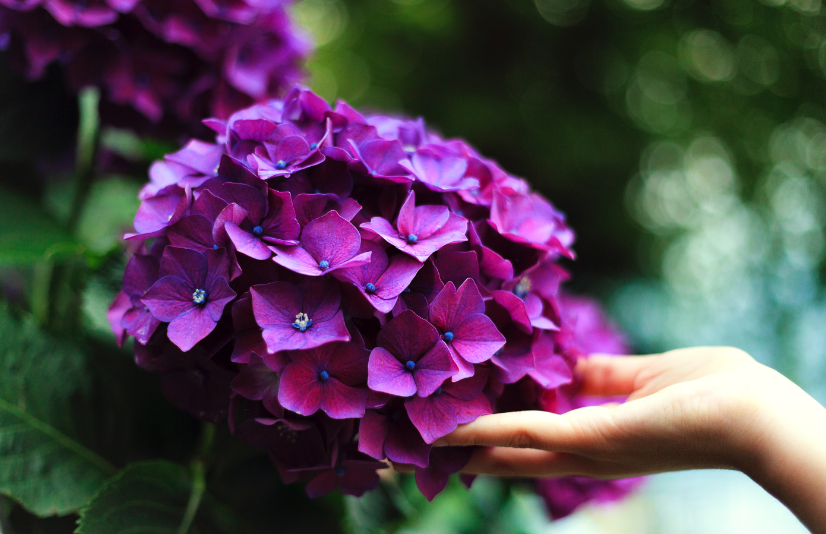 Close-up of hand reaching out to a purple hydrangea flower.