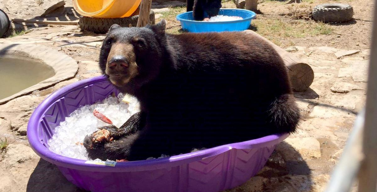 Bear eating a snack in a purple tub full of ice.