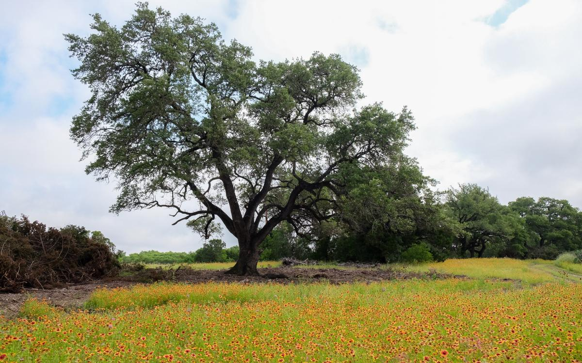 Large oak tree under a partly cloudy sky. Orange and red wildflowers are all around.