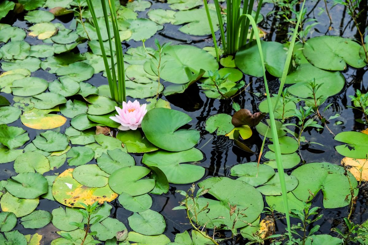 Close up of the pond with lily pads and a lotus
