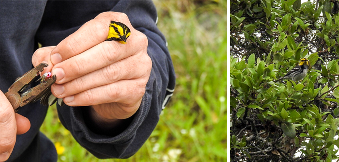 Photo: Golden-cheeked Warbler gets tagged
