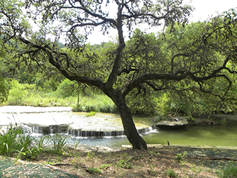 A tree next to a creek in Austin Texas.