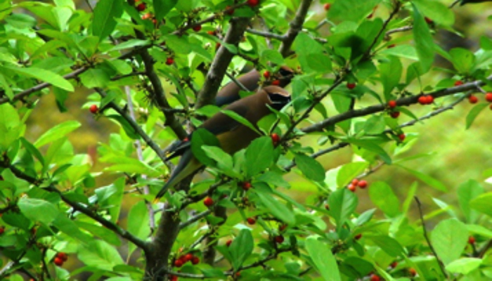 Cedar waxwings in yaupon tree.  Photo by rdd51 on www.wunderground.com