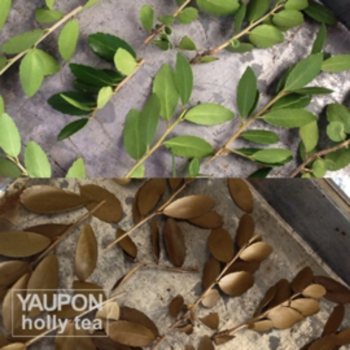 Yaupon leaves before and after roasting for tea.