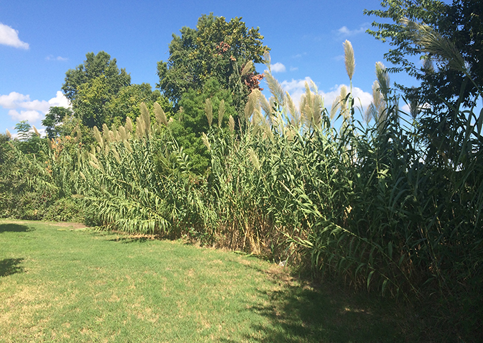 Non-native plants like Giant Cane and Bermuda grass invade an Austin park