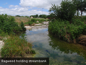 Ragweed holding streambank