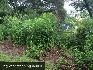 Ragweed trapping debris.