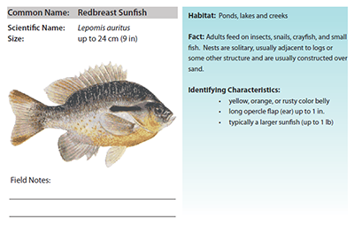 Field guide page for Redbreast Sunfish