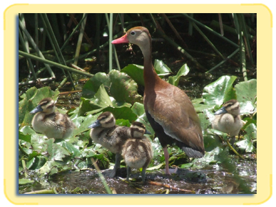 A mother and four duckings.