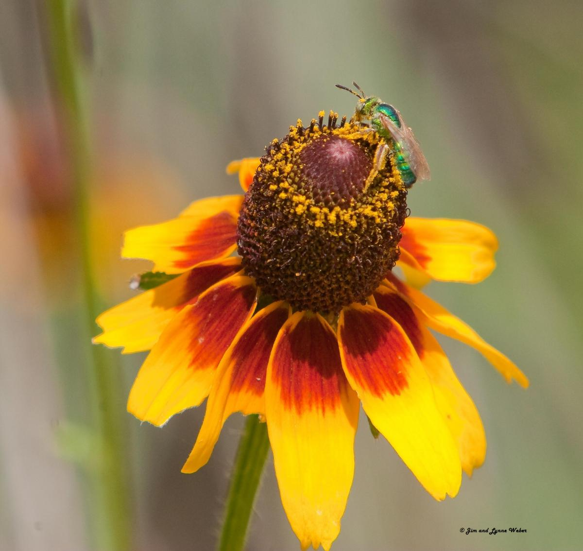 Black-eyed Susan (Rudbeckia hirta) by Jim and Lynne Weber