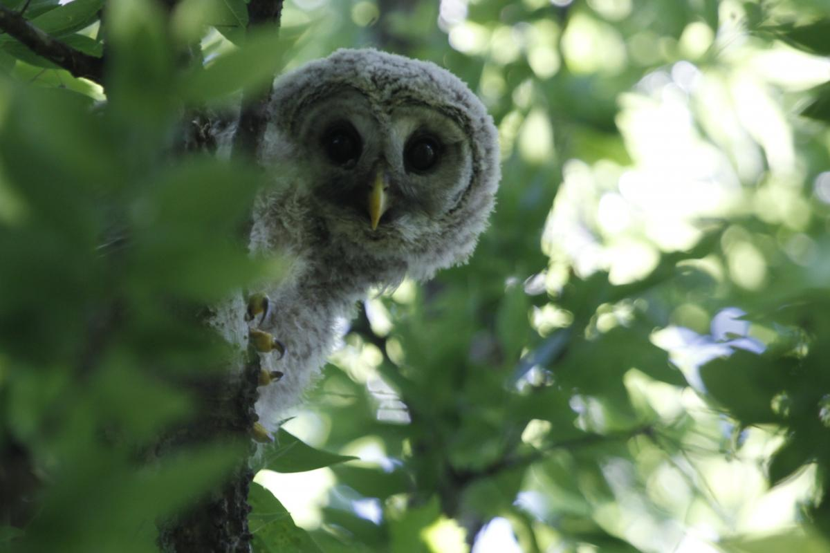 Jane Tillman's Barred Owl (Strix varia) captured at Laguna Gloria
