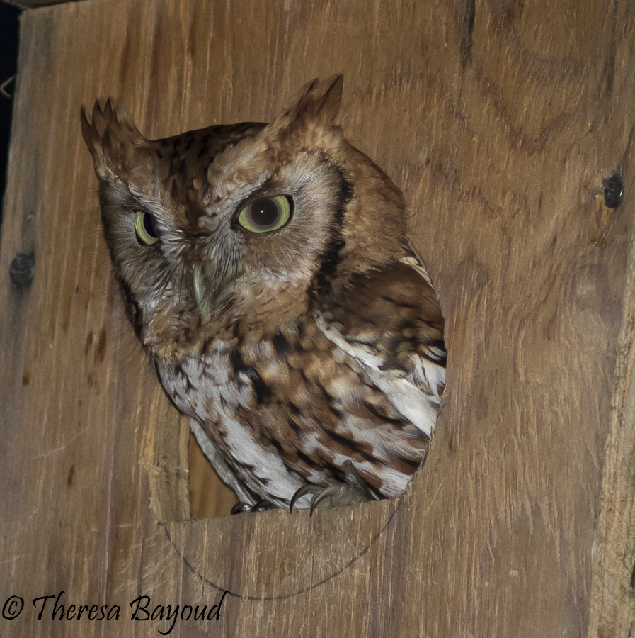 Theresa Bayoud Eastern Screech Owl (Megascops asio) photo