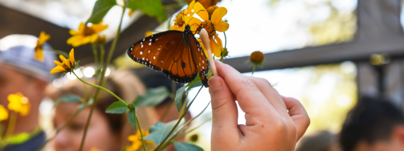 Photo: A hand holds a Q-tip up to a butterfly on a yellow flower.