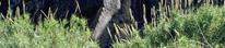 Giant Cane, Arundo