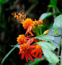 Mexican Flame Vine at Zilker Botanical Garden