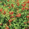 Fern, Firecracker Russelia equisetiformis