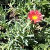 Iceplant   Aptenia spp.      Delosperma spp. Malephora spp