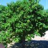 Olive, Mexican   Cordia boissieri