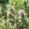 Oregano, Mexican  Poliomintha longiflora
