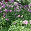 Phlox, Garden  Phlox paniculata