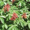 Buckeye, Red       Aesculus pavia