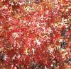 Quercus  texana    Texas Red Oak