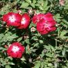 Rose, 'Martha Gonzales'    Rosa 'Martha Gonzales'