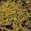 Sedum  (Stonecrop) Sedum spp.