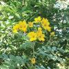 Senna, Lindheimer  Cassia lindheimeriana