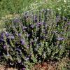 Skullcap, Wright's Purple   Scutellaria wrightii