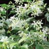 Jasmine, Star Trachelospermum jasminoides