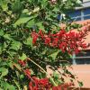 Coralbean Erythrina herbacea