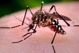 Photo of mosquito that causes zika (Aedes species)